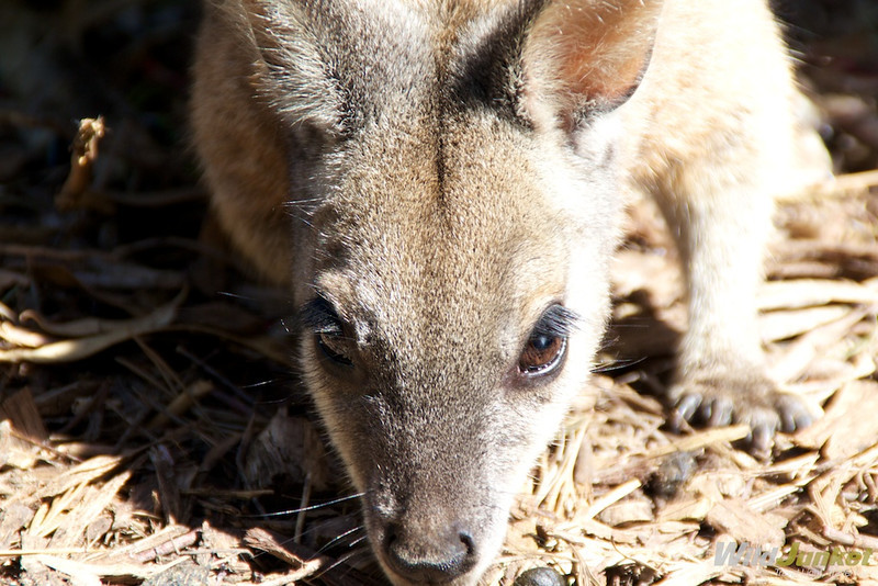 A wallaby up close