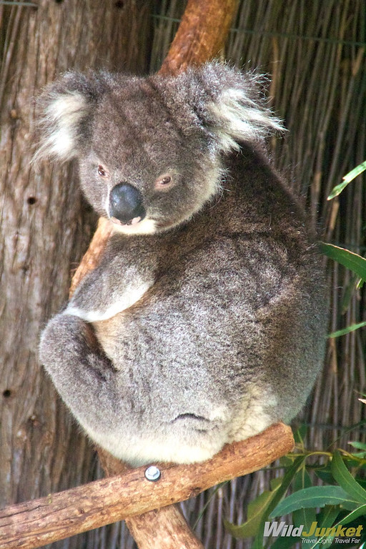 A koala bear in the tree