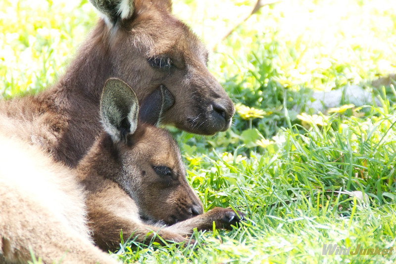 A kangaroo and her joey