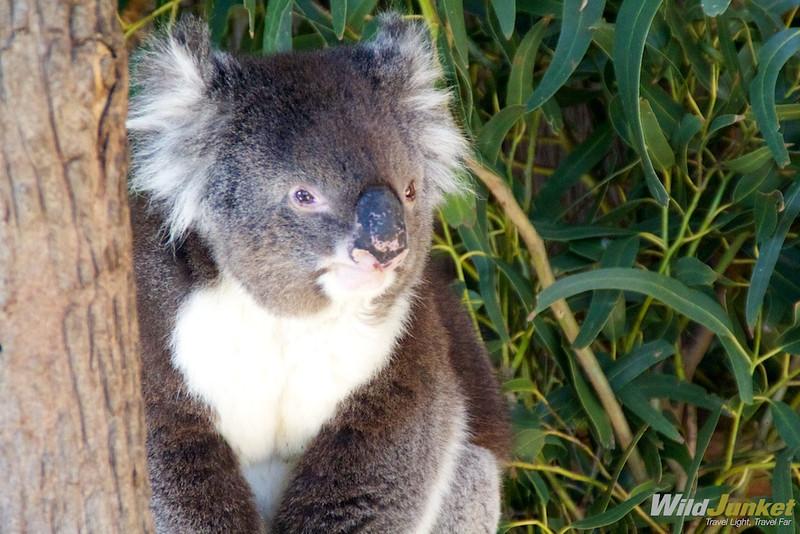 Koalas, Emus and Kangaroos: South Australia's Wildlife