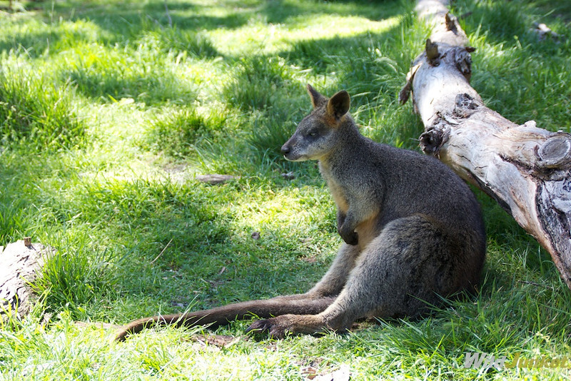 A wallaby lounging around