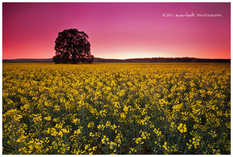 Canola Field , North of Clare