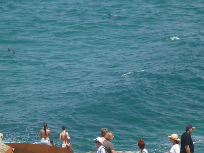 dolphins around the bay from Bondi