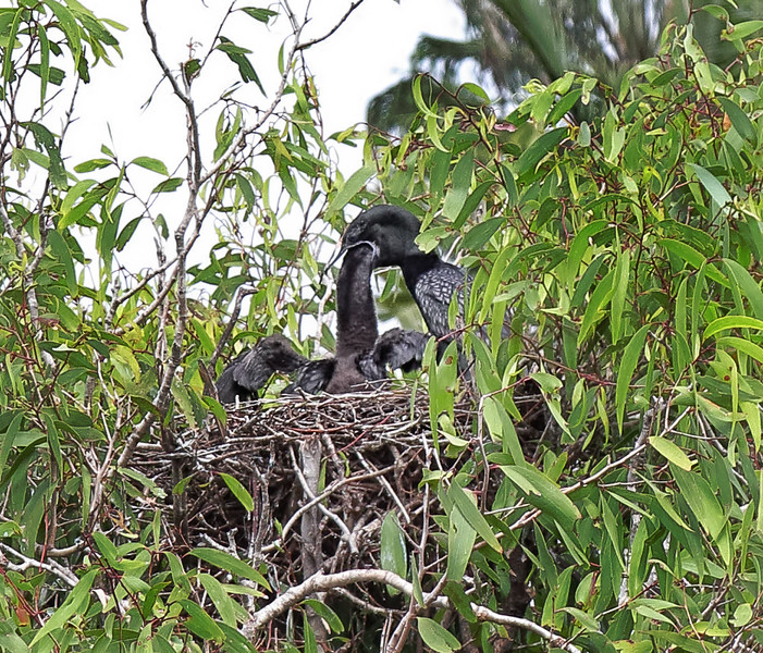 Little Black Cormorants - Adult and Juvenile