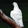 White Groshawk