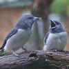 White-breasted Woodswallows - Australia