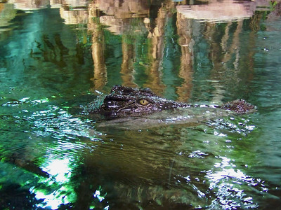 Estuarine Crocodile, Sydney Aquarium