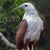 White-bellied Sea Eagle - Juvenile