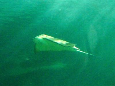 ray, Sydney aquarium