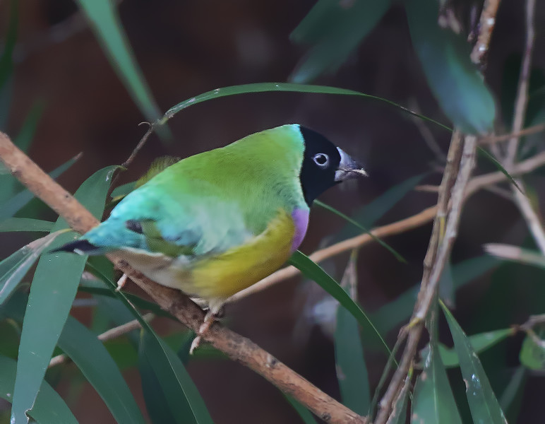 Black-headed Gouldian Finch
