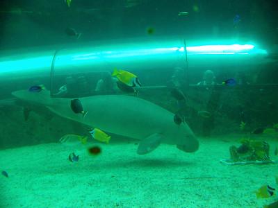 Dugong, Sydney Aquarium