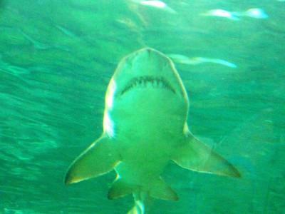 shark, Sydney Aquarium