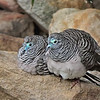 Peaceful Doves