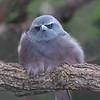 White-browed Woodswallow - Australia