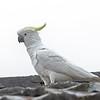 Sulphur-crested Cockatoo - Katoomba