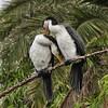 Little Pied Cormorants-Immature