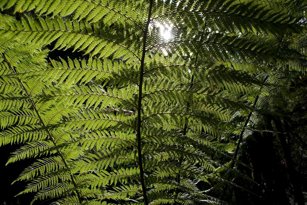 Backlit ferns in Mount Field National Park, Tasmania