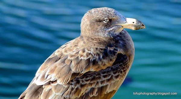 Bicheno birds and north east Tasmania - May 2013