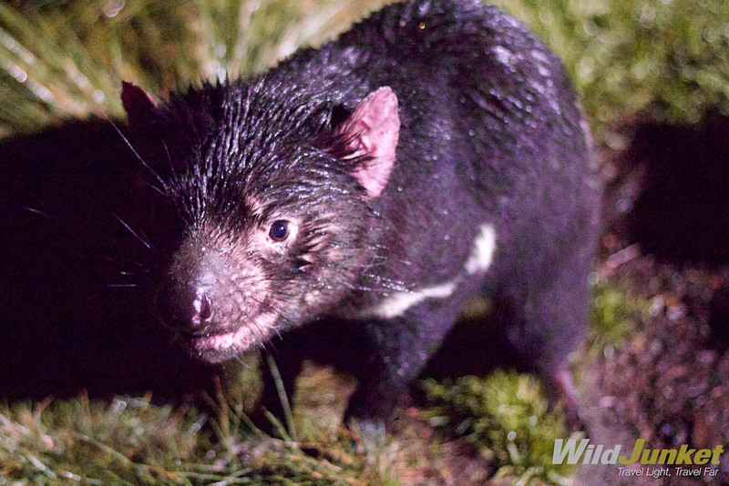 Tasmanian Devil in Cradle Mountain