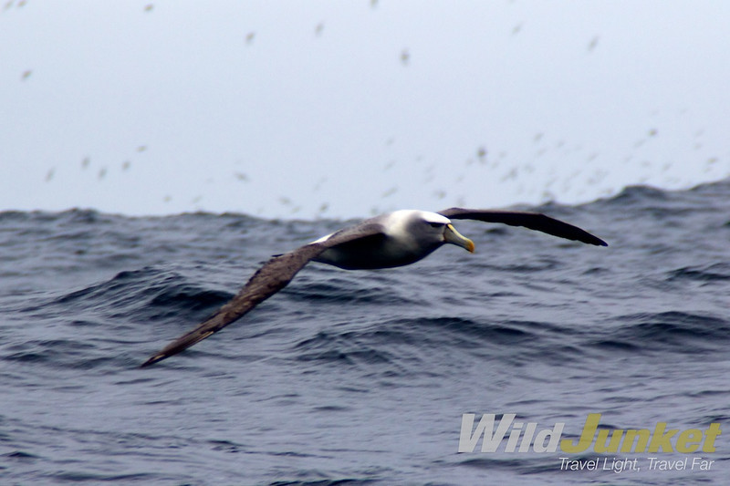 An albatross spreads its wings