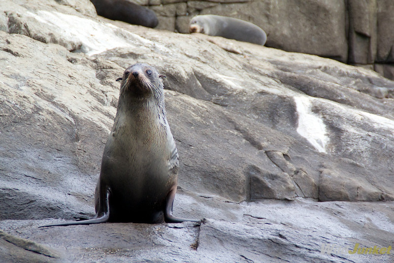 Australian fur seal on Tasman Island