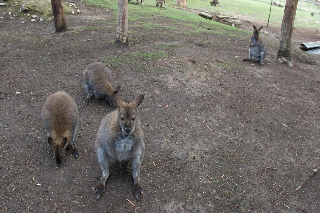 Kangaroo 2 - Tasmania, Australia