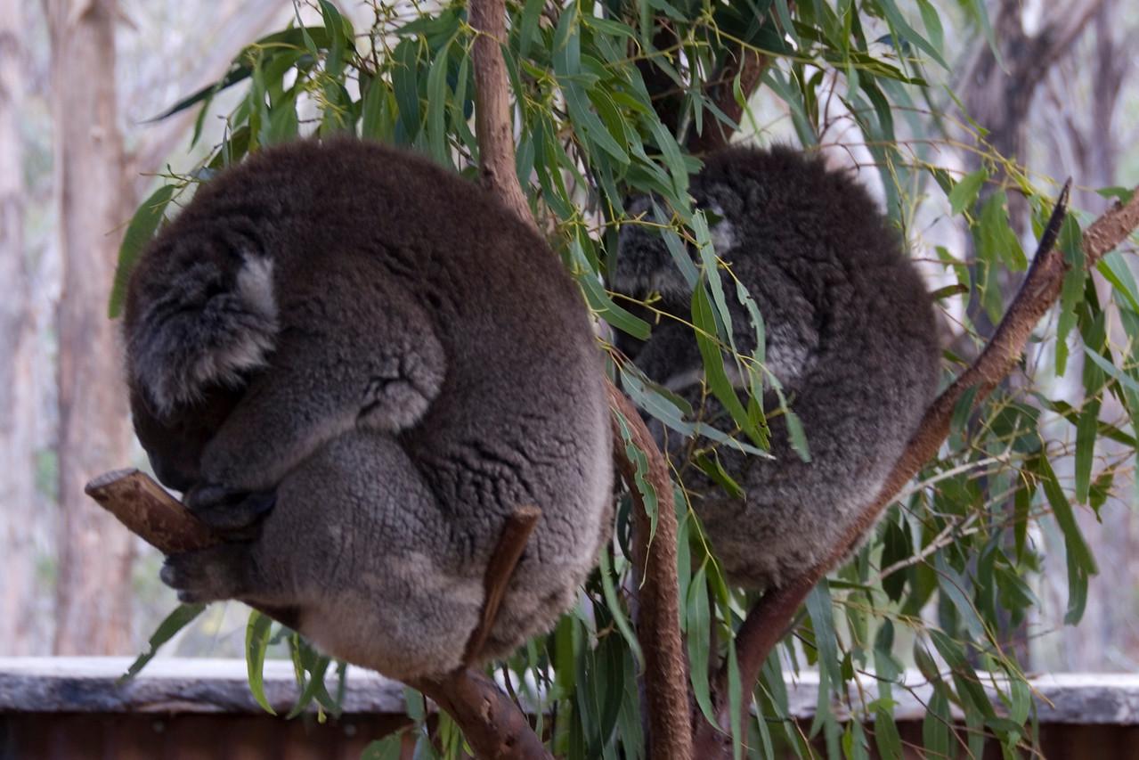 Sleeping Koalas - Tasmania, Australia