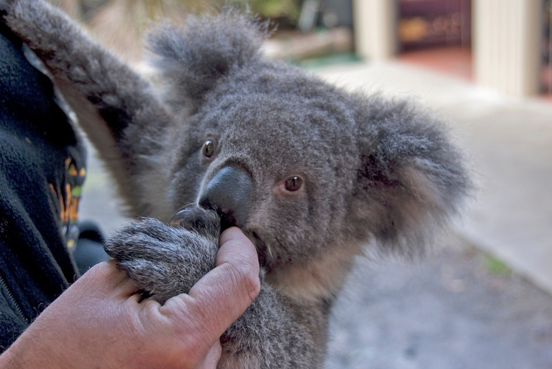 Koala 1 - Tasmania, Australia