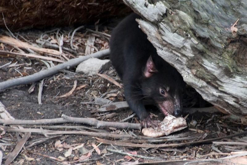 Tasmanian Devil 5 - Tasmania, Australia