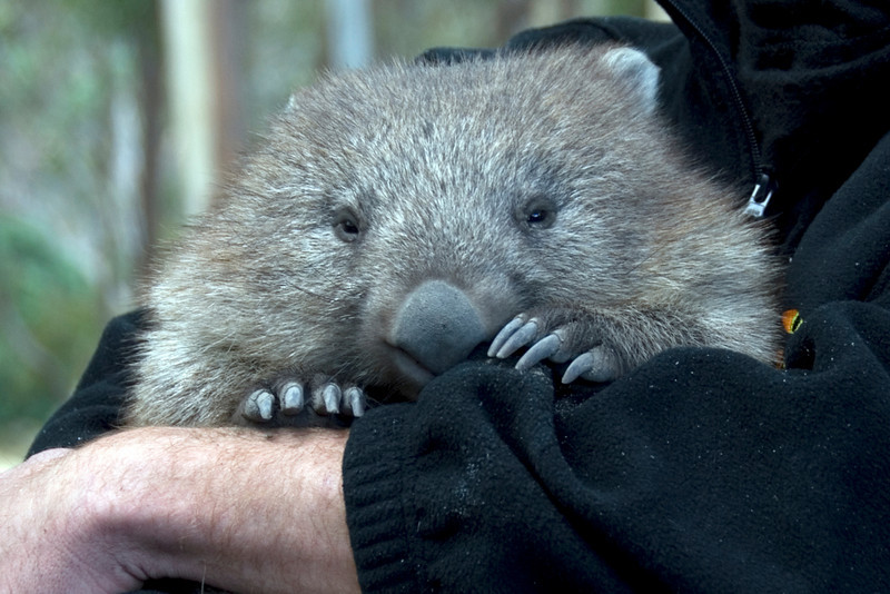 Wombat - Tasmania, Australia