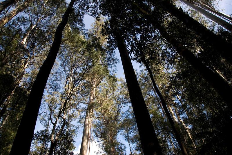 Eucalyptus Regnans 6, Mount Field National Park - Tasmania, Australia