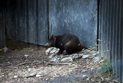 Tasmanian Devil 1 - Tasmania, Australia