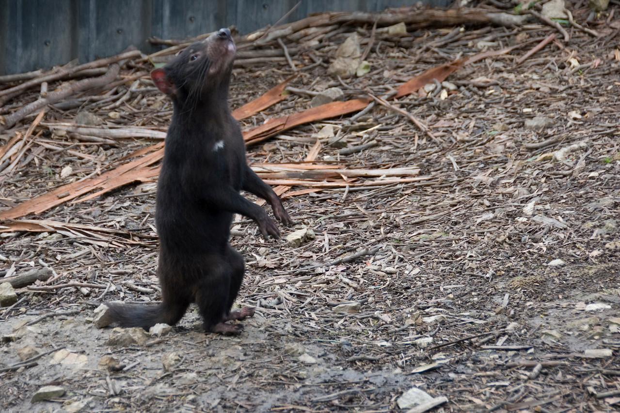 Tasmanian Devil 3 - Tasmania, Australia