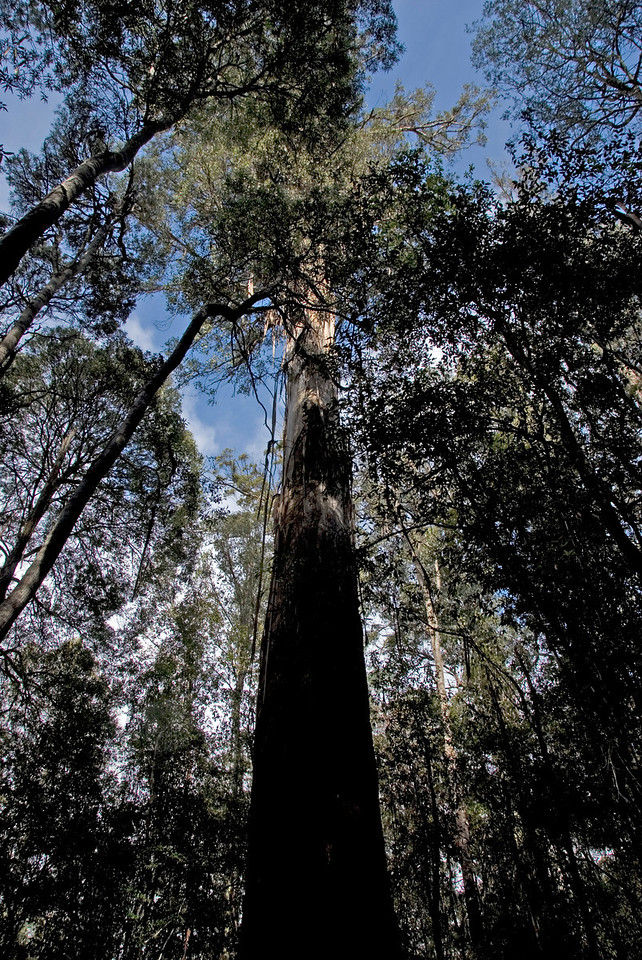 Eucalyptus regnans 1, Mount Field National Park - Tasmania, Australia