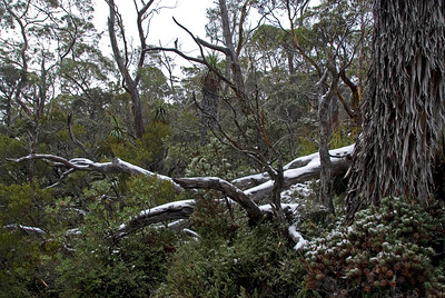 Snow on Palms 2, Mount Field National Park - Tasmania, Australia