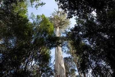 Eucalyptus Regnans 3, Mount Field National Park - Tasmania, Australia