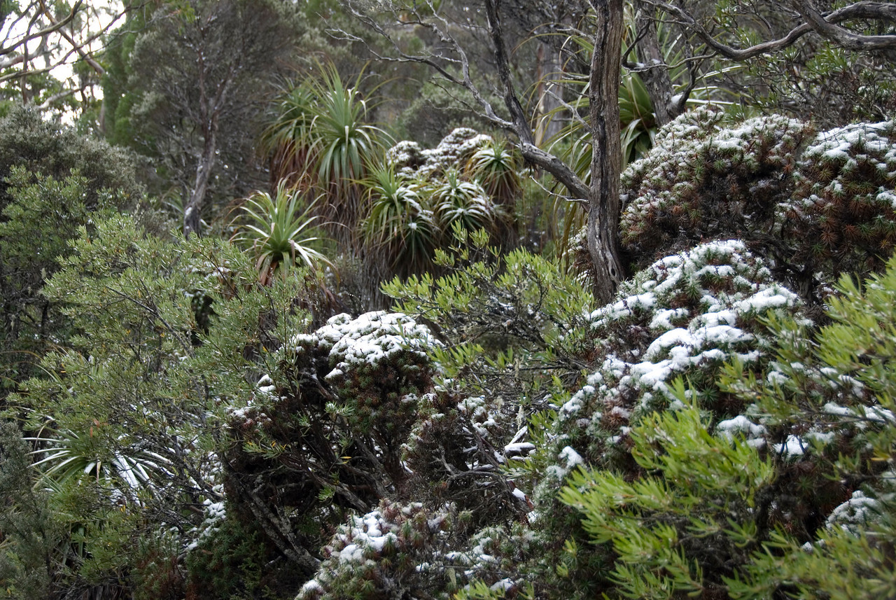 Snow on Palms, Mount Field National Park - Tasmania, Australia