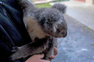 Koala 2 - Tasmania, Australia
