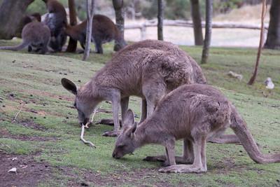 Kangaroo 1 - Tasmania, Australia