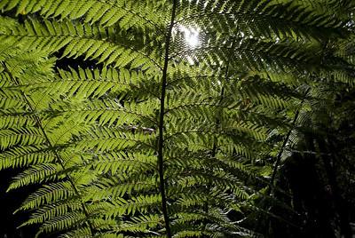 Backlit Ferns, Mount Field National Park - Tasmania, Australia