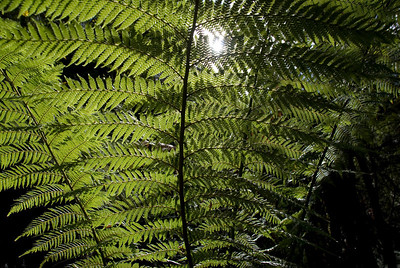 Backlit Ferns, Mount Field National Park - Tasmania, Australia