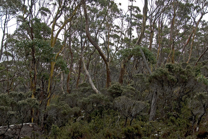 Greenish-Yellow Gum Trees, Mount Field National Park - Tasmania, Australia