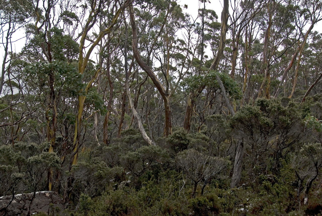 Greenish-Yellow Gum Trees, Mount Field National Park - Tasmania, Australia
