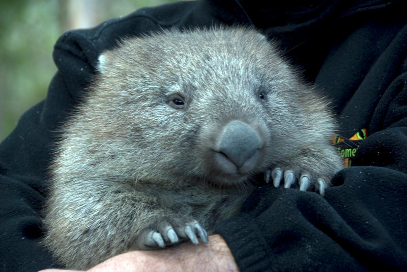 Wombat 2 - Tasmania, Australia