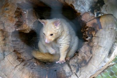 Golden Possum - Tasmania, Australia
