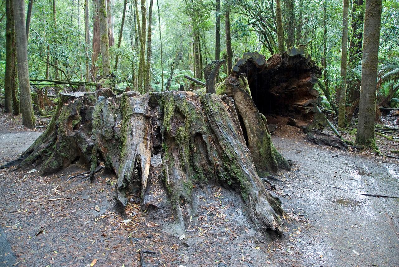 Forest Scene 1, Mount Field National Park - Tasmania, Australia
