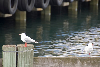 Birds at Harbor - Hobart, Tasmania, Australia