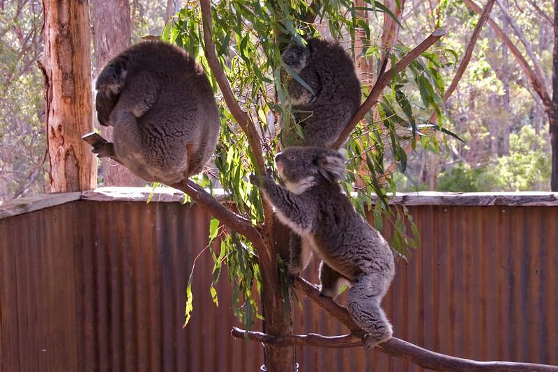 Koalas - Tasmania, Australia