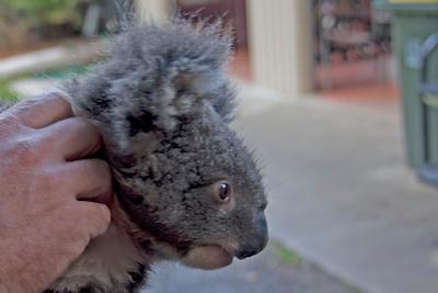 Koala 3 - Tasmania, Australia