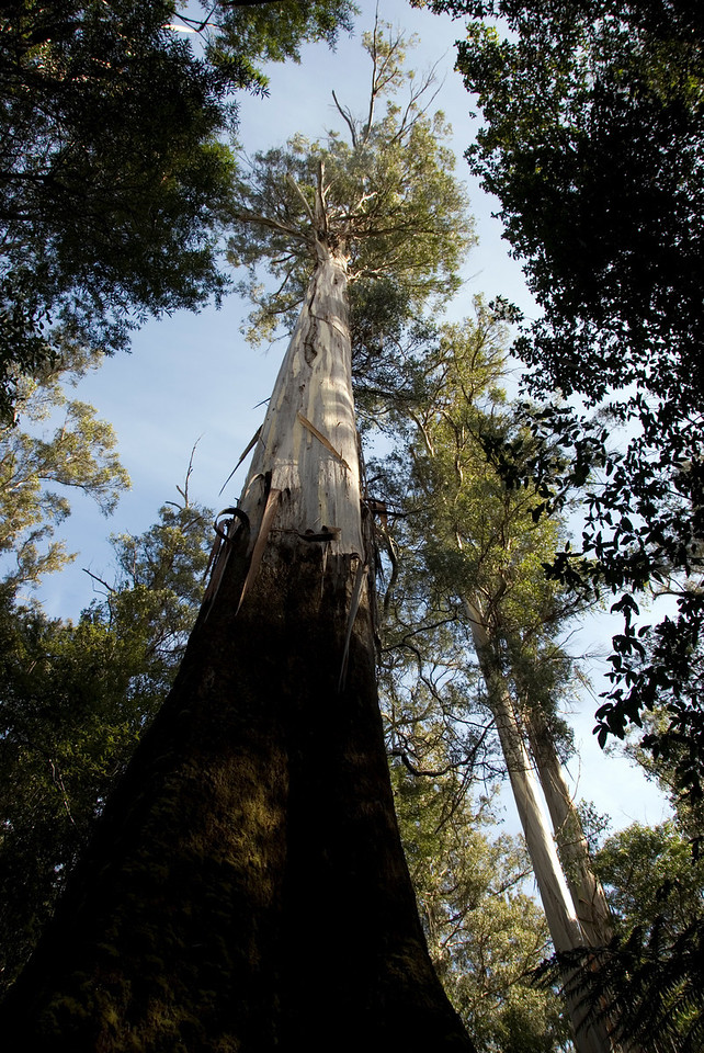Eucalyptus Regnans 5, Mount Field National Park - Tasmania, Australia